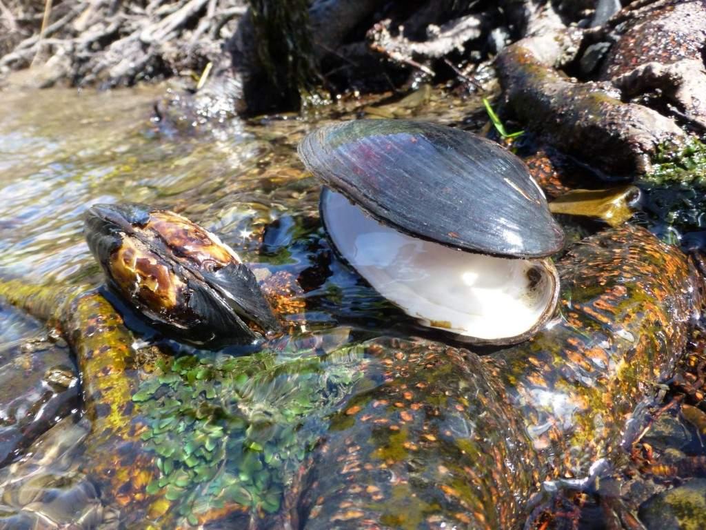 За последние три десятилетия количество моллюсков-фильтраторов на квадратный метр дна водоема снизилось в разы, очищать воду стало некому. Фото:Википедия